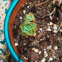 House Leek plant
