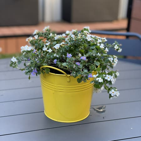 Photo of the plant species bacopa by Roslyn named Petal on Greg, the plant care app