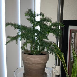 Norfolk Island Pine plant photo by Starryeyedsky named Needle on Greg, the plant care app.
