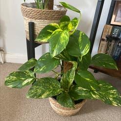 Golden Pothos plant