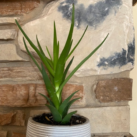 Photo of the plant species Aloe Ciliaris by Mori named Prometheus on Greg, the plant care app