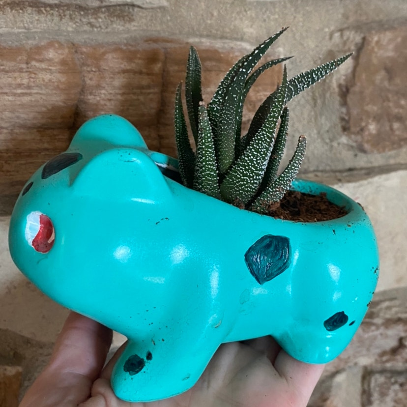 Photo of the plant species Zebra Haworthiopsis by Mori named Bulbasaur on Greg, the plant care app