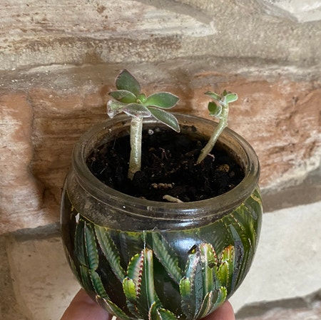 Photo of the plant species Plush Plant by Mori named Sproutacus on Greg, the plant care app