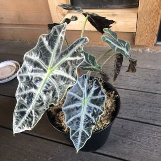 Alocasia Amazonica plant in Boulder, Colorado