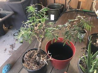 bullhorn acacia plant in Boulder, Colorado