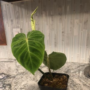 Philodendron verrucosum plant photo by Nellbell85 named Vernon on Greg, the plant care app.