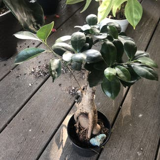 Ficus Ginseng plant in Boulder, Colorado