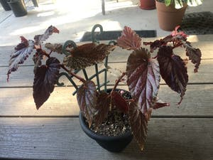 Polka Dot Begonia plant photo by Nellbell85 named Betty on Greg, the plant care app.