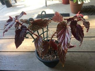 Polka Dot Begonia plant in Boulder, Colorado