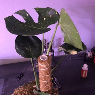 Thai Constellation Monstera plant in Boulder, Colorado