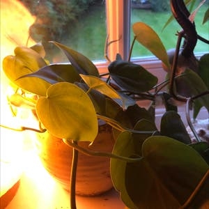 Heartleaf philodendron plant photo by Freya named Zia on Greg, the plant care app.