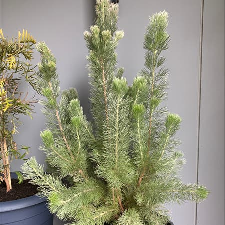 Photo of the plant species Albany Woollybush by Lori j named Woolly on Greg, the plant care app