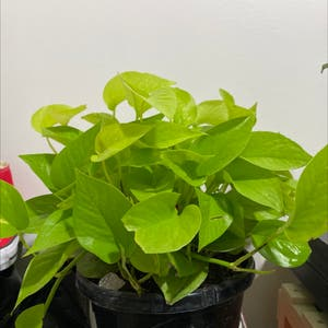 Rating of the plant Neon Pothos named Neon Pothos by Alliantoniuk on Greg, the plant care app