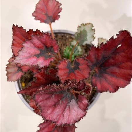 Photo of the plant species Begonia 'Red Robin' by Jay_kei named Robin on Greg, the plant care app