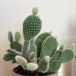 Bunny Ears plant