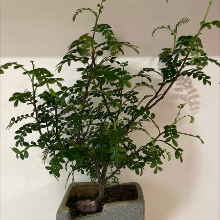 Photo of the plant species Pistacia weinmannifolia by Helen named Pistacia weinmannifolia on Greg, the plant care app