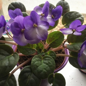 Rating of the plant African Violet named Violette by Missuscox87 on Greg, the plant care app
