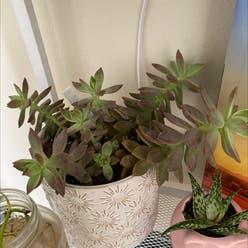 California Sunset plant