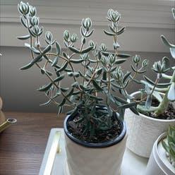 Panda Plant plant
