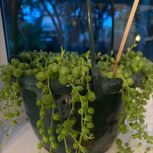 String of Pearls plant photo by Fluffernutter named Pearl on Greg, the plant care app.