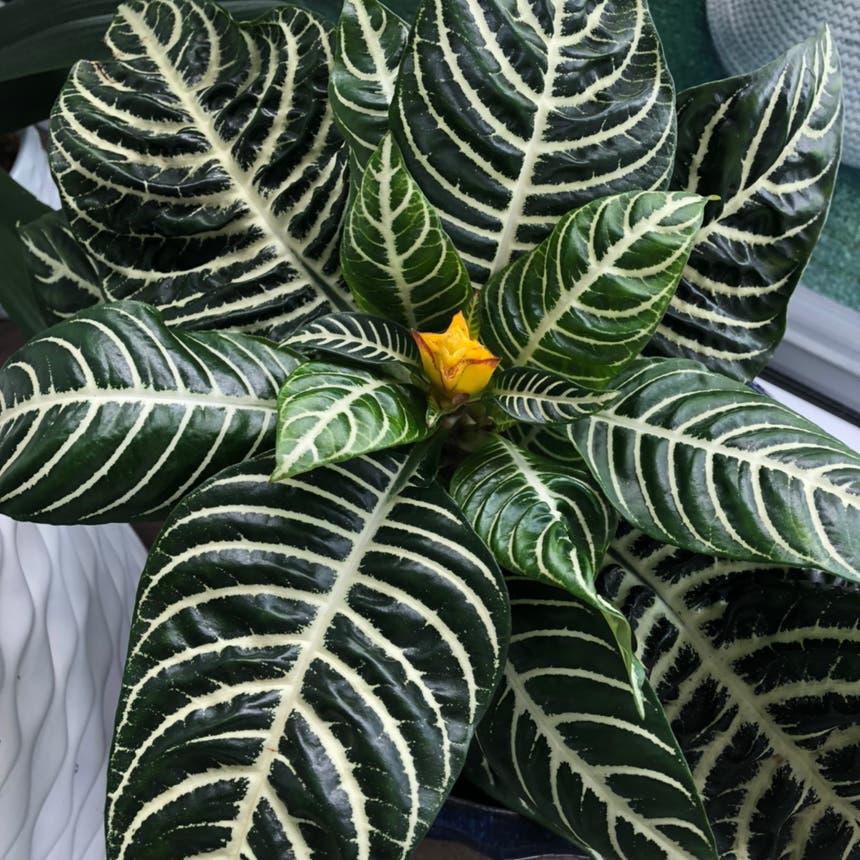 Zebra Plant plant