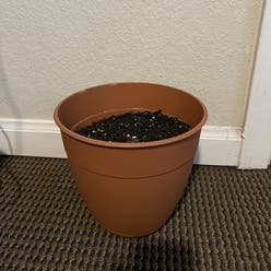 Common Sunflower plant