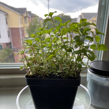 Photo of the plant species Orange Mint by Elizabeth named Gladius on Greg, the plant care app