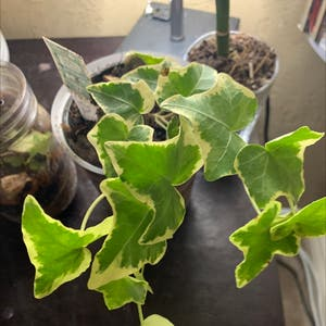 English Ivy plant photo by Kyrste named Grape on Greg, the plant care app.