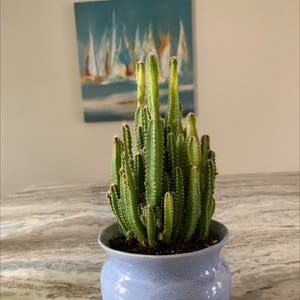 Fairy Castle Cactus plant photo by No_thumbs named minerva on Greg, the plant care app.