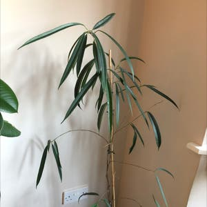 Ficus Alii plant photo by Kelly named Einstein on Greg, the plant care app.