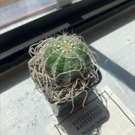 Photo of the plant species Parodia Manifica-Balloon Cactus by Smartin20 named Ithaca on Greg, the plant care app