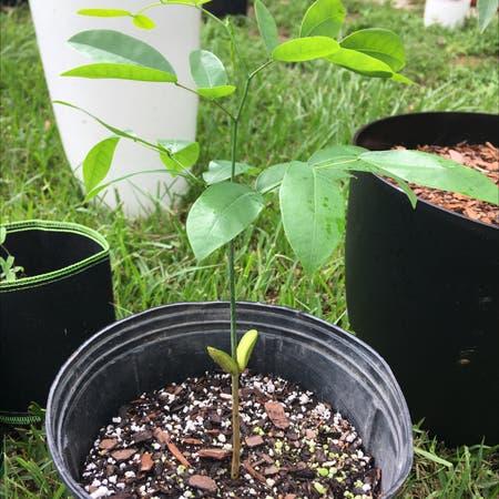 Photo of the plant species Pod Mahogany by Sacredcornplanter named Pod Mahogany on Greg, the plant care app