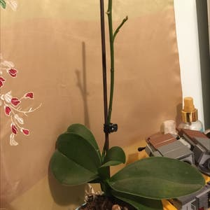 Phalaenopsis orchid plant photo by Tamsin named Prisoner X on Greg, the plant care app.