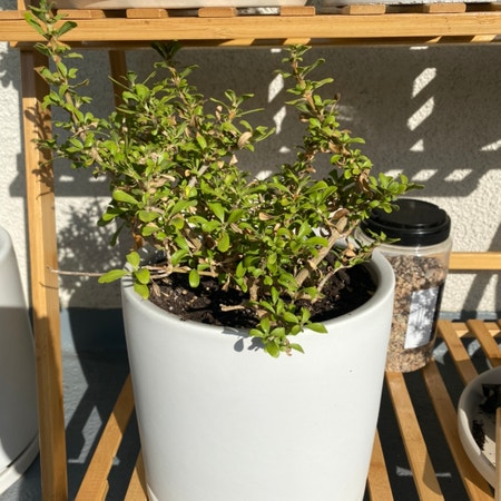 Photo of the plant species New Zealand Laurel by Rywidner named Tree Diddy on Greg, the plant care app