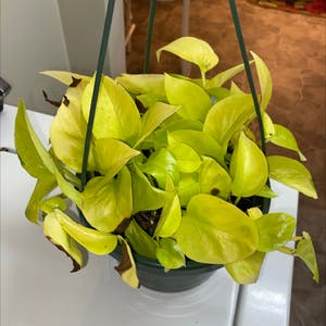 Rating of the plant Neon Pothos named Pothos by Michaela on Greg, the plant care app