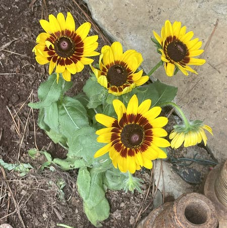 Photo of the plant species Yellow Ox-Eye Daisy by Bpaige1020 named Stella on Greg, the plant care app