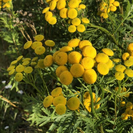 Photo of the plant species Tanacetum Vulgare by Janell anne named Your plant on Greg, the plant care app