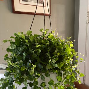 Variegated Creeping Fig plant photo by Ojoj65 named Frank on Greg, the plant care app.