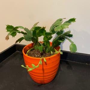 False Christmas Cactus plant photo by Jphillippe named Chris & Kringle on Greg, the plant care app.