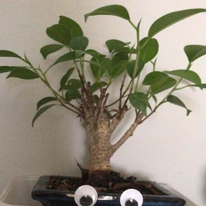 Ficus Ginseng plant photo by Rosie named simon on Greg, the plant care app.