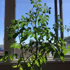 Cherry Tomato plant photo by Scarlett-panduh named Cherry Blue on Greg, the plant care app.