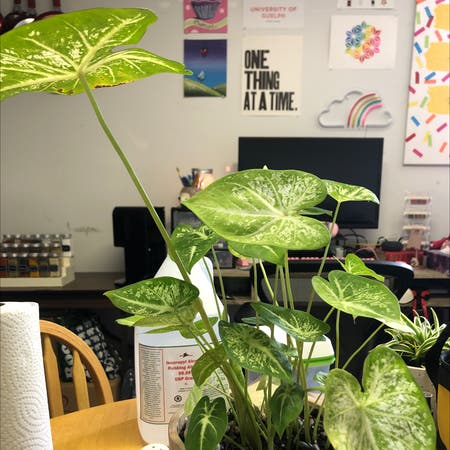 Photo of the plant species Lance-leaf Caladium by Lindsay named Lady Capabellum on Greg, the plant care app