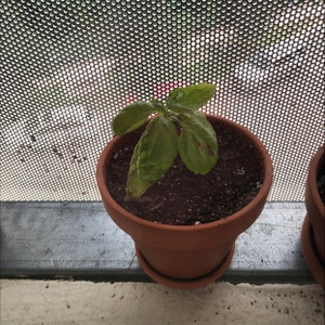 Sweet Basil plant photo by Dylanslabach named Scarlett on Greg, the plant care app.