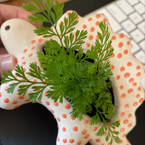 Parsley fern plant photo by Lyndal named Remington on Greg, the plant care app.