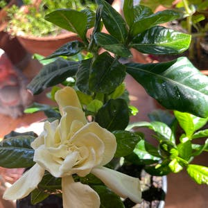 Cape Jasmine plant photo by Sohappyicoulddie named Weddy on Greg, the plant care app.