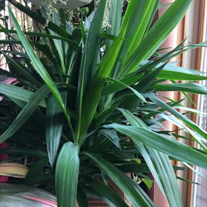 Blue-Stem Yucca plant photo by R_l named Mr. Yucca on Greg, the plant care app.