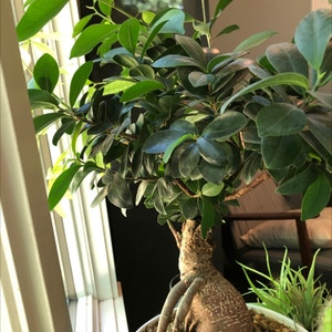 Rating of the plant Ficus Ginseng named Bodhi by Elliottsgarden on Greg, the plant care app