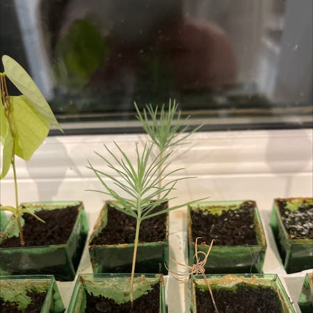 Photo of the plant species Pinus mugo by Holsterhops named Pine on Greg, the plant care app