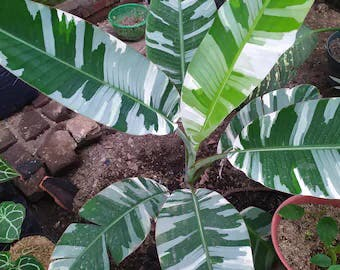 Photo of the plant species Ae Ae Banana by Mmg named Musa ae ae on Greg, the plant care app