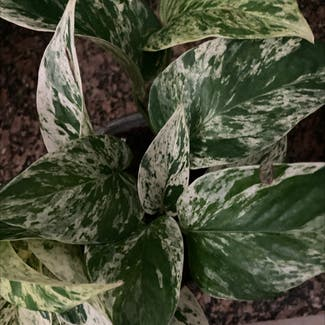 Marble Queen Pothos plant in Frederick, Maryland